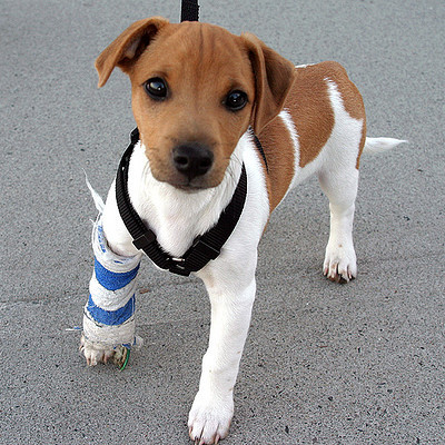 Puppy in a cast