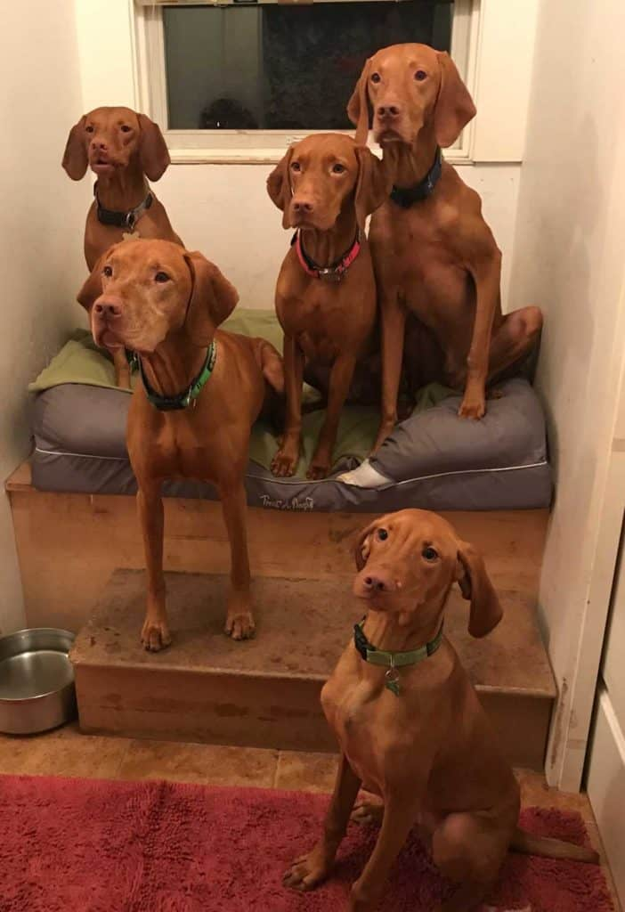 Obi with his Vizsla family